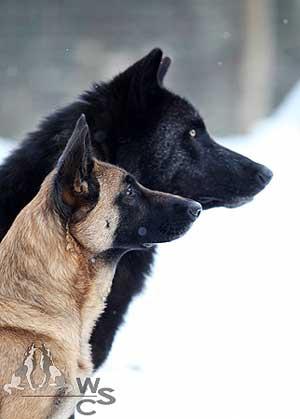 lobo_perro
