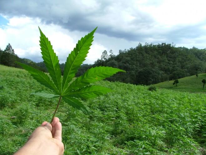 marihuana-hoja