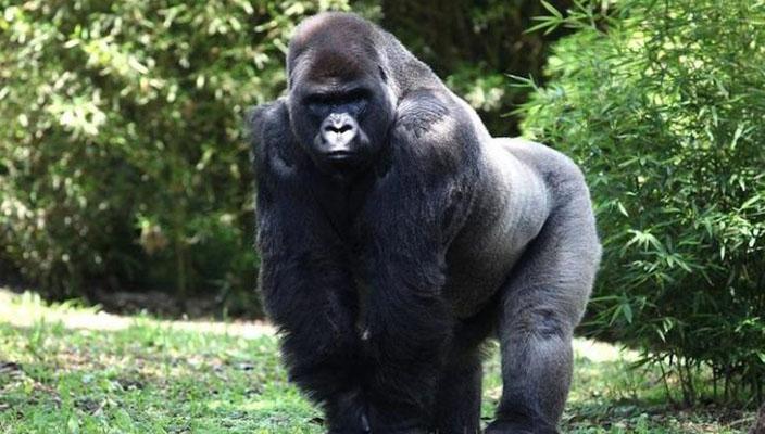 bantu-gorila