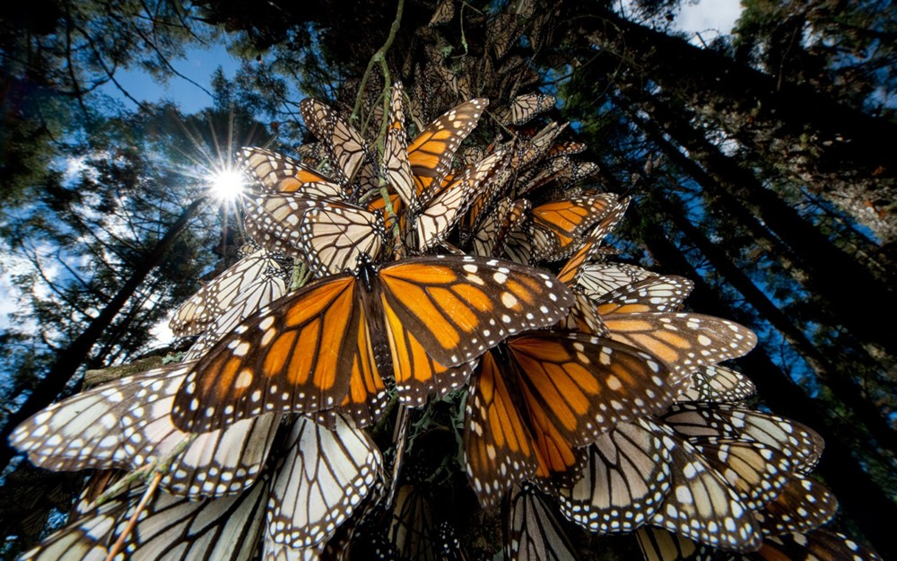 mariposas_monarca