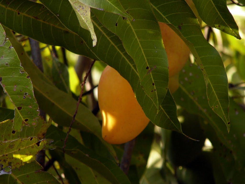 mango-ataulfo-chiapas