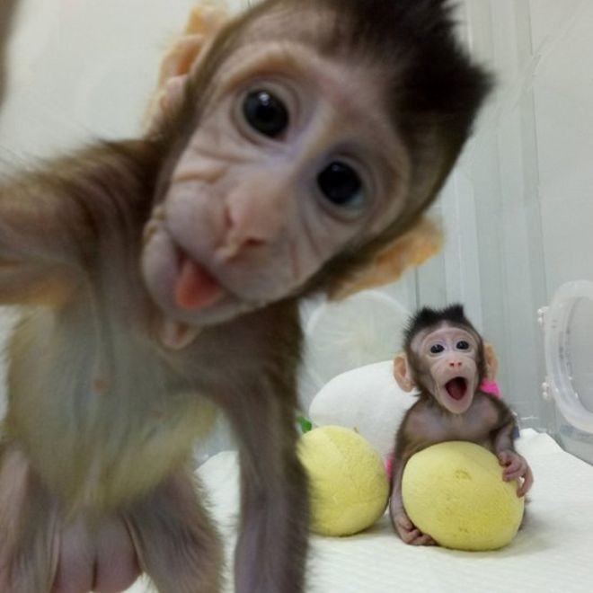 macacos-clonados