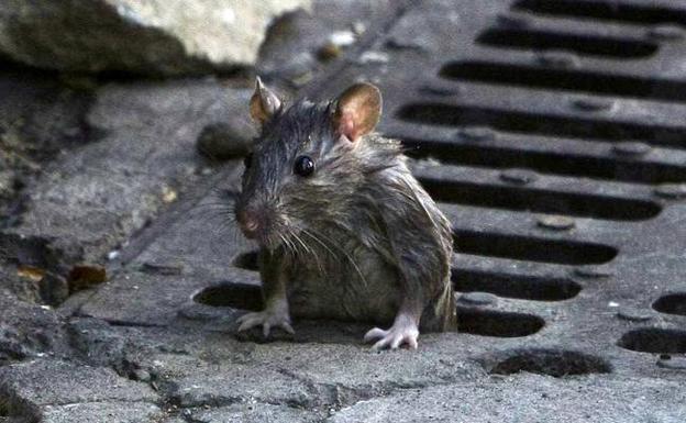 alcantarilla-rata-pgr