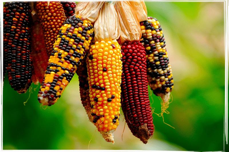 ¿El maíz es un problema en la alimentación del mexicano?